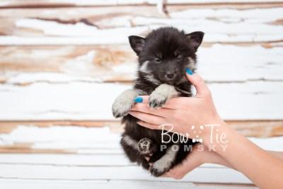 puppy20 week5 BowTiePomsky.com Bowtie Pomsky Puppy For Sale Husky Pomeranian Mini Dog Spokane WA Breeder Blue Eyes Pomskies photo-9508