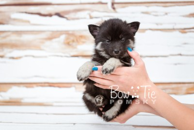 puppy20 week5 BowTiePomsky.com Bowtie Pomsky Puppy For Sale Husky Pomeranian Mini Dog Spokane WA Breeder Blue Eyes Pomskies photo-9508