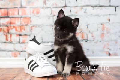 puppy20 week7 BowTiePomsky.com Bowtie Pomsky Puppy For Sale Husky Pomeranian Mini Dog Spokane WA Breeder Blue Eyes Pomskies photo-4614