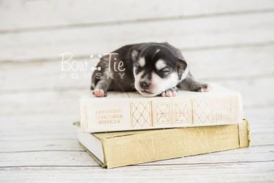puppy21 BowTiePomsky.com Bowtie Pomsky Puppy For Sale Husky Pomeranian Mini Dog Spokane WA Breeder Blue Eyes Pomskies photo-2157