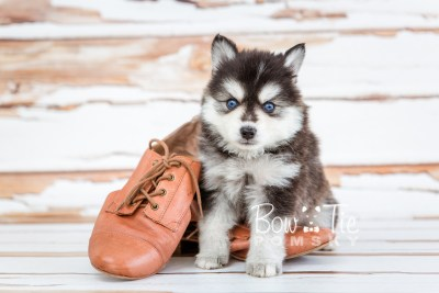 puppy21 week5 BowTiePomsky.com Bowtie Pomsky Puppy For Sale Husky Pomeranian Mini Dog Spokane WA Breeder Blue Eyes Pomskies photo-9386