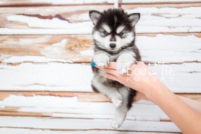 puppy21 week5 BowTiePomsky.com Bowtie Pomsky Puppy For Sale Husky Pomeranian Mini Dog Spokane WA Breeder Blue Eyes Pomskies photo-9534