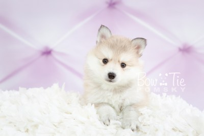 puppy22 BowTiePomsky.com Bowtie Pomsky Puppy For Sale Husky Pomeranian Mini Dog Spokane WA Breeder Blue Eyes Pomskies photo12