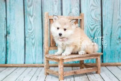 puppy22 BowTiePomsky.com Bowtie Pomsky Puppy For Sale Husky Pomeranian Mini Dog Spokane WA Breeder Blue Eyes Pomskies photo13