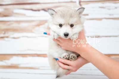 puppy22 BowTiePomsky.com Bowtie Pomsky Puppy For Sale Husky Pomeranian Mini Dog Spokane WA Breeder Blue Eyes Pomskies photo16