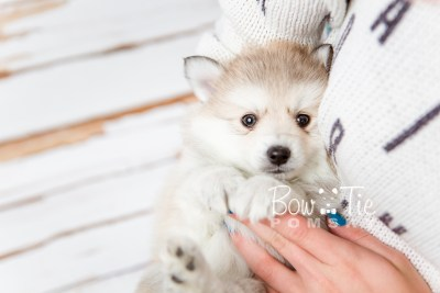 puppy22 BowTiePomsky.com Bowtie Pomsky Puppy For Sale Husky Pomeranian Mini Dog Spokane WA Breeder Blue Eyes Pomskies photo17