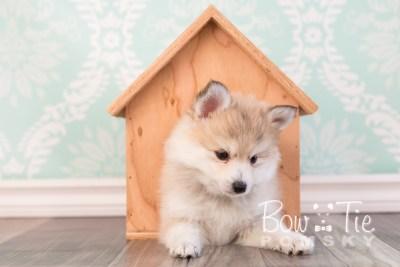 puppy22 BowTiePomsky.com Bowtie Pomsky Puppy For Sale Husky Pomeranian Mini Dog Spokane WA Breeder Blue Eyes Pomskies photo19