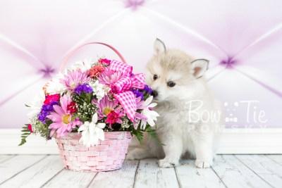 puppy22 BowTiePomsky.com Bowtie Pomsky Puppy For Sale Husky Pomeranian Mini Dog Spokane WA Breeder Blue Eyes Pomskies photo20