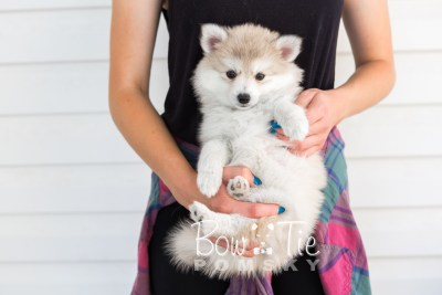 puppy22 BowTiePomsky.com Bowtie Pomsky Puppy For Sale Husky Pomeranian Mini Dog Spokane WA Breeder Blue Eyes Pomskies photo24