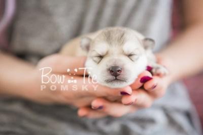 puppy22 BowTiePomsky.com Bowtie Pomsky Puppy For Sale Husky Pomeranian Mini Dog Spokane WA Breeder Blue Eyes Pomskies photo5