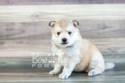 puppy22 BowTiePomsky.com Bowtie Pomsky Puppy For Sale Husky Pomeranian Mini Dog Spokane WA Breeder Blue Eyes Pomskies photo7