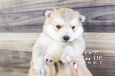 puppy22 BowTiePomsky.com Bowtie Pomsky Puppy For Sale Husky Pomeranian Mini Dog Spokane WA Breeder Blue Eyes Pomskies photo9