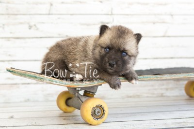 puppy23 BowTiePomsky.com Bowtie Pomsky Puppy For Sale Husky Pomeranian Mini Dog Spokane WA Breeder Blue Eyes Pomskies photo10