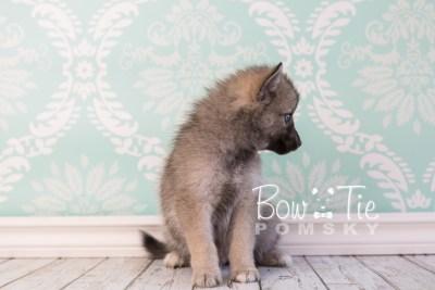 puppy23 BowTiePomsky.com Bowtie Pomsky Puppy For Sale Husky Pomeranian Mini Dog Spokane WA Breeder Blue Eyes Pomskies photo11