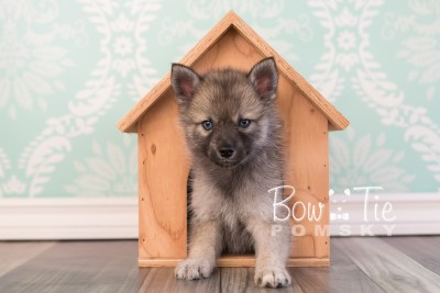puppy23 BowTiePomsky.com Bowtie Pomsky Puppy For Sale Husky Pomeranian Mini Dog Spokane WA Breeder Blue Eyes Pomskies photo13