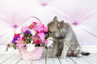 puppy23 BowTiePomsky.com Bowtie Pomsky Puppy For Sale Husky Pomeranian Mini Dog Spokane WA Breeder Blue Eyes Pomskies photo14