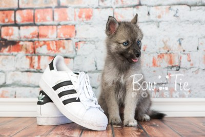 puppy23 BowTiePomsky.com Bowtie Pomsky Puppy For Sale Husky Pomeranian Mini Dog Spokane WA Breeder Blue Eyes Pomskies photo16