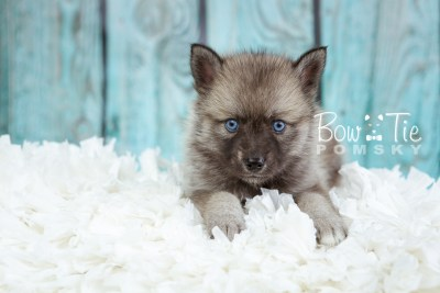 puppy23 BowTiePomsky.com Bowtie Pomsky Puppy For Sale Husky Pomeranian Mini Dog Spokane WA Breeder Blue Eyes Pomskies photo19