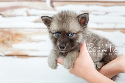 puppy23 BowTiePomsky.com Bowtie Pomsky Puppy For Sale Husky Pomeranian Mini Dog Spokane WA Breeder Blue Eyes Pomskies photo24