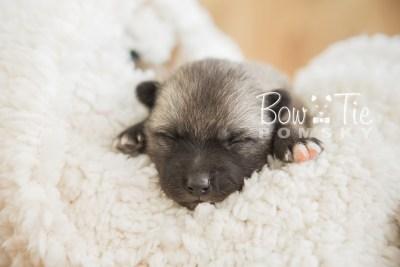 puppy23 BowTiePomsky.com Bowtie Pomsky Puppy For Sale Husky Pomeranian Mini Dog Spokane WA Breeder Blue Eyes Pomskies photo4