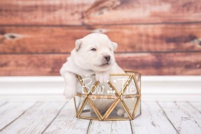 puppy24 week2 BowTiePomsky.com Bowtie Pomsky Puppy For Sale Husky Pomeranian Mini Dog Spokane WA Breeder Blue Eyes Pomskies photo-photo_fb-2