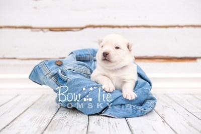 puppy24 week2 BowTiePomsky.com Bowtie Pomsky Puppy For Sale Husky Pomeranian Mini Dog Spokane WA Breeder Blue Eyes Pomskies photo-photo_fb-4