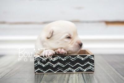 puppy24 week2 BowTiePomsky.com Bowtie Pomsky Puppy For Sale Husky Pomeranian Mini Dog Spokane WA Breeder Blue Eyes Pomskies photo-photo_fb-7