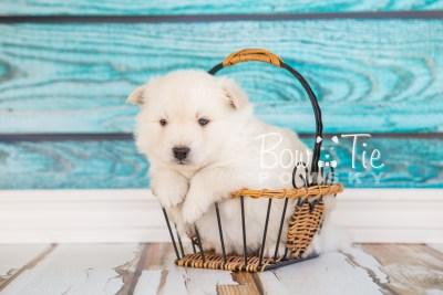 puppy24-week4-bowtiepomsky-com-bowtie-pomsky-puppy-for-sale-husky-pomeranian-mini-dog-spokane-wa-breeder-blue-eyes-pomskies-photo_fb-3