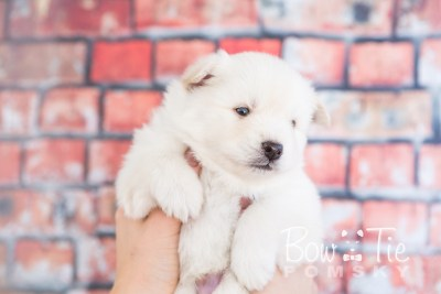 puppy24-week4-bowtiepomsky-com-bowtie-pomsky-puppy-for-sale-husky-pomeranian-mini-dog-spokane-wa-breeder-blue-eyes-pomskies-photo_fb-7