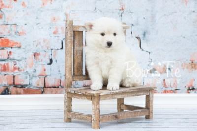 puppy24-week6-bowtiepomsky-com-bowtie-pomsky-puppy-for-sale-husky-pomeranian-mini-dog-spokane-wa-breeder-blue-eyes-pomskies-photo_fb-2