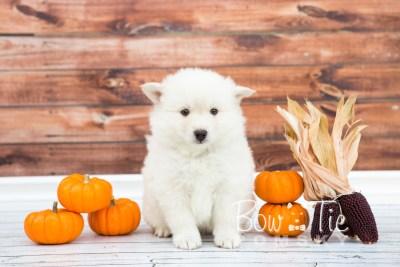 puppy24-week6-bowtiepomsky-com-bowtie-pomsky-puppy-for-sale-husky-pomeranian-mini-dog-spokane-wa-breeder-blue-eyes-pomskies-photo_fb-3