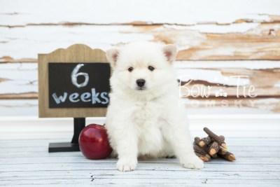 puppy24-week6-bowtiepomsky-com-bowtie-pomsky-puppy-for-sale-husky-pomeranian-mini-dog-spokane-wa-breeder-blue-eyes-pomskies-photo_fb-5