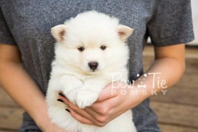 puppy24-week6-bowtiepomsky-com-bowtie-pomsky-puppy-for-sale-husky-pomeranian-mini-dog-spokane-wa-breeder-blue-eyes-pomskies-photo_fb-7
