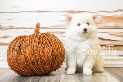 puppy24-week8-bowtiepomsky-com-bowtie-pomsky-puppy-for-sale-husky-pomeranian-mini-dog-spokane-wa-breeder-blue-eyes-pomskies-bowtie_pumsky_fb-0228