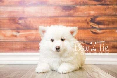 puppy24-week8-bowtiepomsky-com-bowtie-pomsky-puppy-for-sale-husky-pomeranian-mini-dog-spokane-wa-breeder-blue-eyes-pomskies-bowtie_pumsky_fb-0234