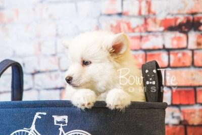 puppy24-week8-bowtiepomsky-com-bowtie-pomsky-puppy-for-sale-husky-pomeranian-mini-dog-spokane-wa-breeder-blue-eyes-pomskies-bowtie_pumsky_fb-0284