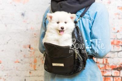 puppy24-week8-bowtiepomsky-com-bowtie-pomsky-puppy-for-sale-husky-pomeranian-mini-dog-spokane-wa-breeder-blue-eyes-pomskies-bowtie_pumsky_fb-0317