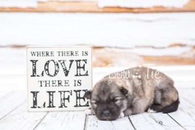 puppy25 week2 BowTiePomsky.com Bowtie Pomsky Puppy For Sale Husky Pomeranian Mini Dog Spokane WA Breeder Blue Eyes Pomskies photo-photo_fb-5