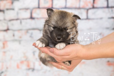 puppy25-week4-bowtiepomsky-com-bowtie-pomsky-puppy-for-sale-husky-pomeranian-mini-dog-spokane-wa-breeder-blue-eyes-pomskies-photo_fb-12