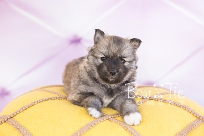 puppy25-week4-bowtiepomsky-com-bowtie-pomsky-puppy-for-sale-husky-pomeranian-mini-dog-spokane-wa-breeder-blue-eyes-pomskies-photo_fb-8