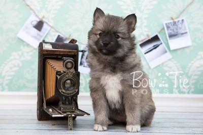puppy25-week6-bowtiepomsky-com-bowtie-pomsky-puppy-for-sale-husky-pomeranian-mini-dog-spokane-wa-breeder-blue-eyes-pomskies-photo_fb-13