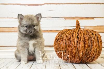 puppy25-week8-bowtiepomsky-com-bowtie-pomsky-puppy-for-sale-husky-pomeranian-mini-dog-spokane-wa-breeder-blue-eyes-pomskies-bowtie_pumsky_fb-0352