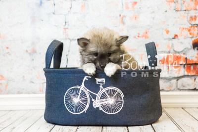 puppy25-week8-bowtiepomsky-com-bowtie-pomsky-puppy-for-sale-husky-pomeranian-mini-dog-spokane-wa-breeder-blue-eyes-pomskies-bowtie_pumsky_fb-0391