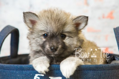 puppy25-week8-bowtiepomsky-com-bowtie-pomsky-puppy-for-sale-husky-pomeranian-mini-dog-spokane-wa-breeder-blue-eyes-pomskies-bowtie_pumsky_fb-0401