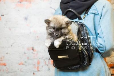 puppy25-week8-bowtiepomsky-com-bowtie-pomsky-puppy-for-sale-husky-pomeranian-mini-dog-spokane-wa-breeder-blue-eyes-pomskies-bowtie_pumsky_fb-0409