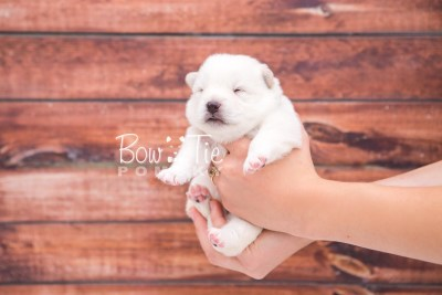 puppy26 week2 BowTiePomsky.com Bowtie Pomsky Puppy For Sale Husky Pomeranian Mini Dog Spokane WA Breeder Blue Eyes Pomskies photo-photo_fb-3