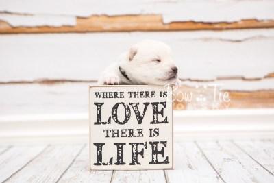 puppy26 week2 BowTiePomsky.com Bowtie Pomsky Puppy For Sale Husky Pomeranian Mini Dog Spokane WA Breeder Blue Eyes Pomskies photo-photo_fb-5
