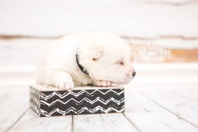 puppy26 week2 BowTiePomsky.com Bowtie Pomsky Puppy For Sale Husky Pomeranian Mini Dog Spokane WA Breeder Blue Eyes Pomskies photo-photo_fb-6