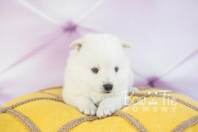 puppy26-week4-bowtiepomsky-com-bowtie-pomsky-puppy-for-sale-husky-pomeranian-mini-dog-spokane-wa-breeder-blue-eyes-pomskies-photo_fb-15