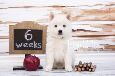 puppy26-week6-bowtiepomsky-com-bowtie-pomsky-puppy-for-sale-husky-pomeranian-mini-dog-spokane-wa-breeder-blue-eyes-pomskies-photo_fb-16
